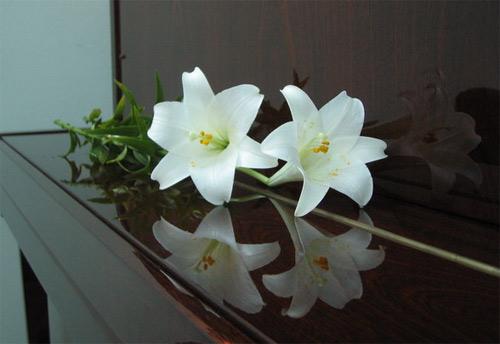 Hoa loa kèn em cắm để chờ anh…, Bạn trẻ - Cuộc sống, Hoa loa kèn, yêu thương, tháng tư, nhớ, du học
