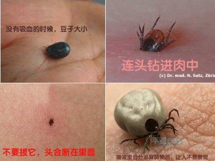 Cận cảnh rệp hút máu người tại Trung Quốc