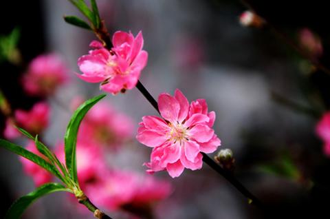 Những loài hoa tiêu biểu của mùa xuân   CafeCuoi.Com