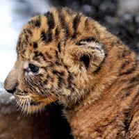 Hình ảnh Ngộ nghĩnh con lai giữa hổ và sư tử số 1