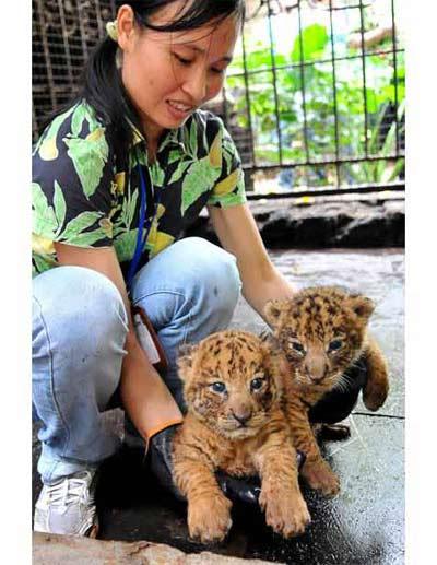 Hình ảnh Ngộ nghĩnh con lai giữa hổ và sư tử số 12