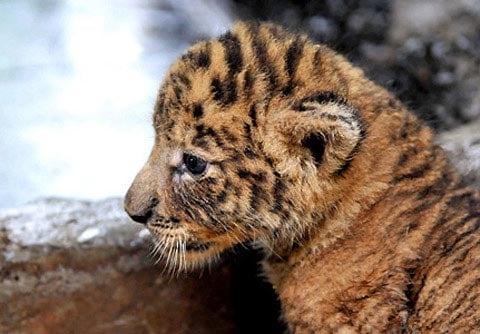 Hình ảnh Ngộ nghĩnh con lai giữa hổ và sư tử số 13