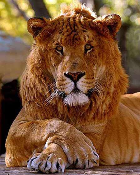 Hình ảnh Ngộ nghĩnh con lai giữa hổ và sư tử số 7