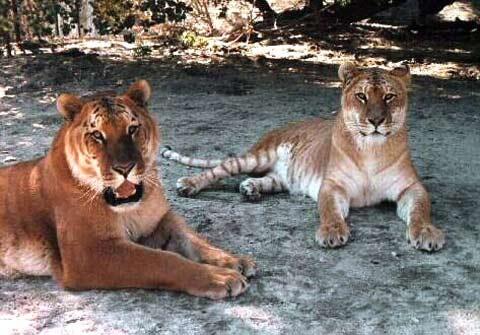 Hình ảnh Ngộ nghĩnh con lai giữa hổ và sư tử số 10