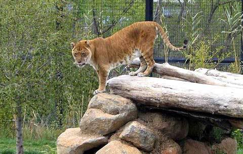 Hình ảnh Ngộ nghĩnh con lai giữa hổ và sư tử số 11