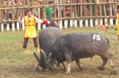Tưng bừng lễ hội Chọi trâu cổ nhất Việt Nam 3