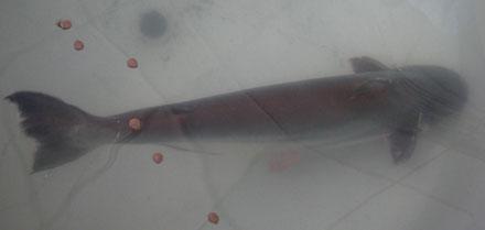 Hình ảnh Ra mắt những con cá, tôm lớn nhất Việt Nam số 2