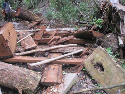 """Dân thảnh thơi đốn cây xẻ gỗ, kiểm lâm """"không nỡ bắt"""" 2_7_1289638277_52_9"""