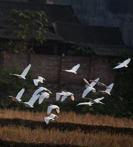 Cò bay rợp núi nơi thượng nguồn sông Hồng 2_7_1289981394_77_DSC_0032