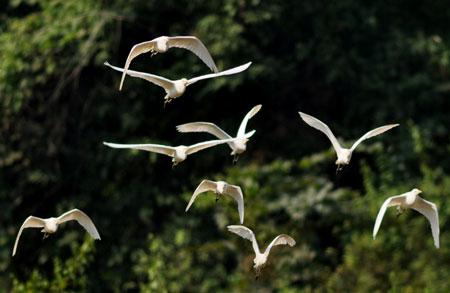 Cò bay rợp núi nơi thượng nguồn sông Hồng 2_7_1289981395_15_DSC_0113