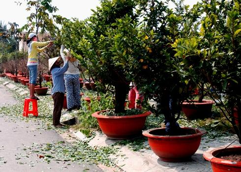 Cách tuốt lá để mai ra hoa đúng tết