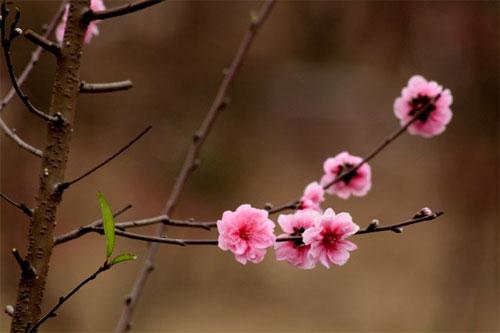 Hoa đào nở báo hiệu một kỳ nghỉ sắp tới.