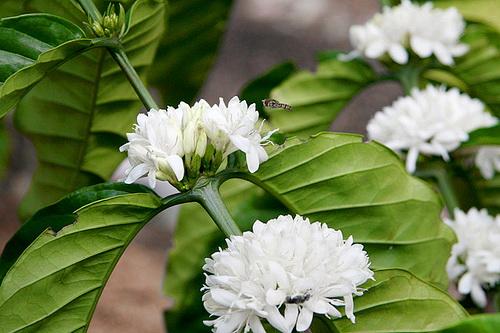Hình ảnh Mùa hoa cafe trắng trời Tây Nguyên số 1