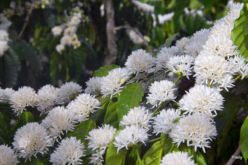 Hình ảnh Mùa hoa cafe trắng trời Tây Nguyên số 3