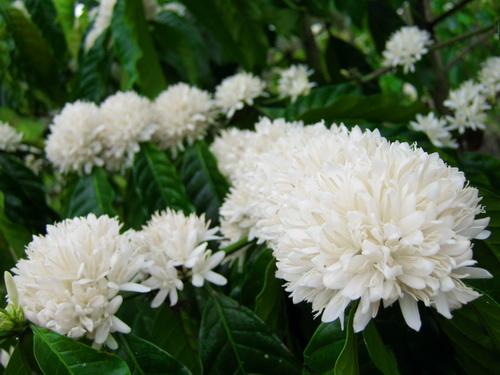 Hình ảnh Mùa hoa cafe trắng trời Tây Nguyên số 4