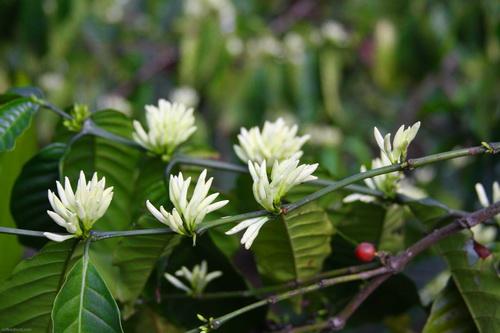 Hình ảnh Mùa hoa cafe trắng trời Tây Nguyên số 6