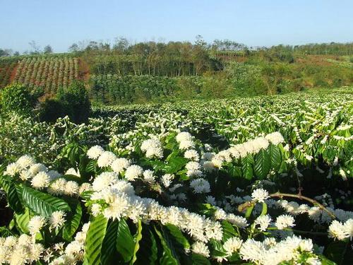 Hình ảnh Mùa hoa cafe trắng trời Tây Nguyên số 7