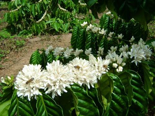 Hình ảnh Mùa hoa cafe trắng trời Tây Nguyên số 10