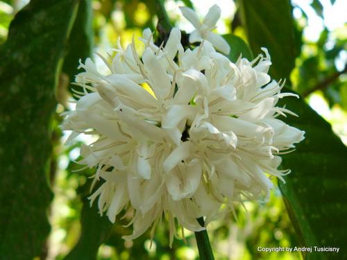 Hình ảnh Mùa hoa cafe trắng trời Tây Nguyên số 11