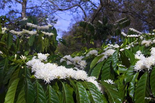 Hình ảnh Mùa hoa cafe trắng trời Tây Nguyên số 12