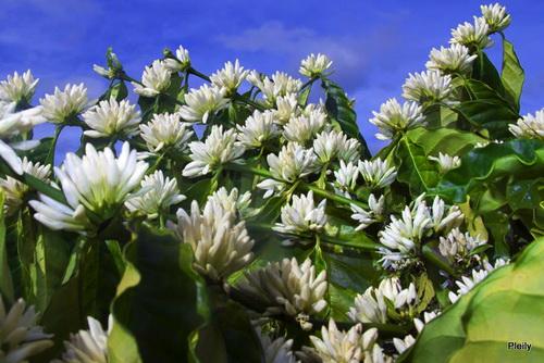 Hình ảnh Mùa hoa cafe trắng trời Tây Nguyên số 13