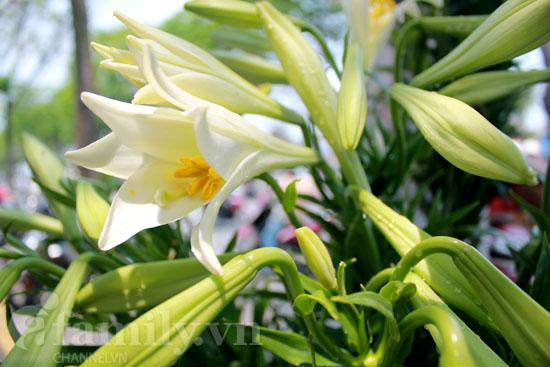 Hình ảnh Dịu dàng hoa loa kèn tháng tư số 1