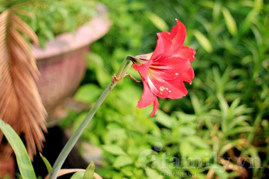 Hình ảnh Dịu dàng hoa loa kèn tháng tư số 2