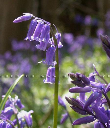Hình ảnh Hoa chuông xanh, loài hoa dại đẹp nhất thế giới số 1