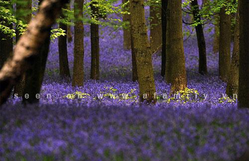 Hình ảnh Hoa chuông xanh, loài hoa dại đẹp nhất thế giới số 2