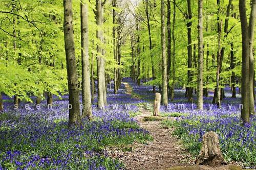 Hình ảnh Hoa chuông xanh, loài hoa dại đẹp nhất thế giới số 3
