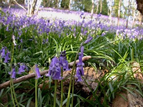 Hình ảnh Hoa chuông xanh, loài hoa dại đẹp nhất thế giới số 6