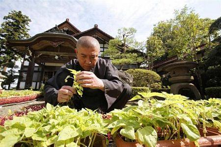 Hình ảnh Nhà sư Nhật trồng hướng dương để khử phóng xạ số 2
