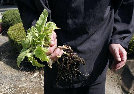 Hình ảnh Nhà sư Nhật trồng hướng dương để khử phóng xạ số 3