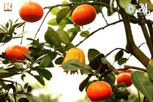 Kỳ lạ 1 cây cho 5 loại quả<br /><br /><br /><br /><br /><br /><br /><br /><br /><br /><br /><br /><br /><br /><br /><br /><br /><br /> khác nhau, Tin tức Việt Nam, Tin tức trong ngày, cay cam, qua quyt, qua chanh, qua buoi, ngu qua, lao nong, ha noi, thanh oai, ha tay, y tuong, khen ngoi