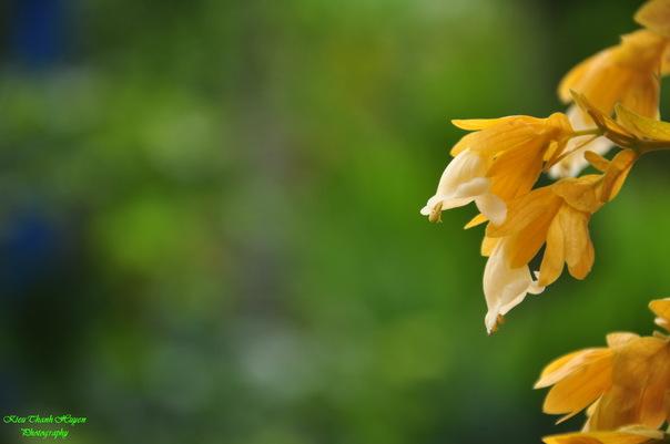 Hình ảnh Dây hoa chuỗi vàng số 2