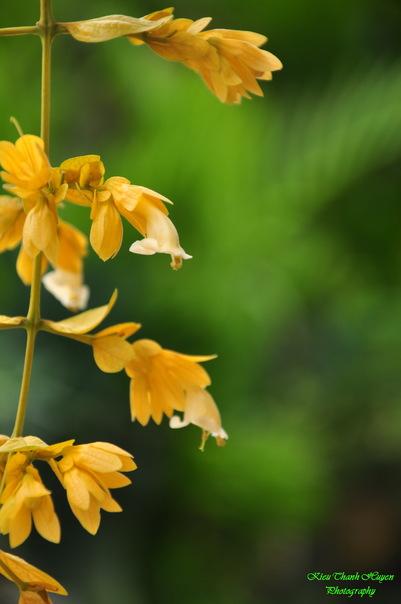 Hình ảnh Dây hoa chuỗi vàng số 9