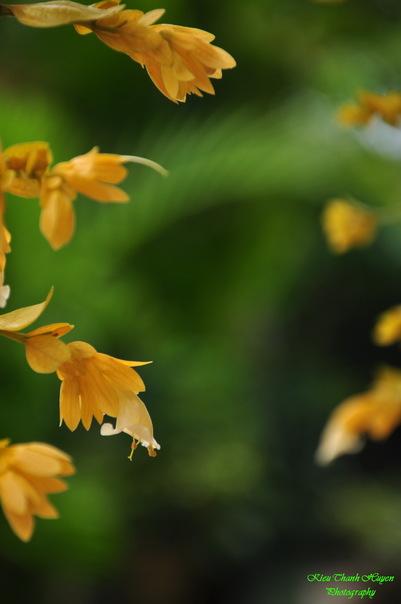 Hình ảnh Dây hoa chuỗi vàng số 10