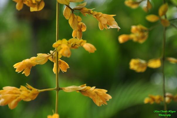 Hình ảnh Dây hoa chuỗi vàng số 18
