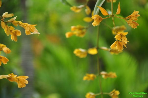 Hình ảnh Dây hoa chuỗi vàng số 20