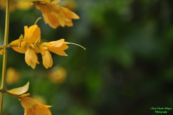 Hình ảnh Dây hoa chuỗi vàng số 21
