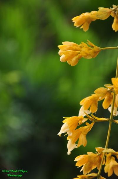 Hình ảnh Dây hoa chuỗi vàng số 23