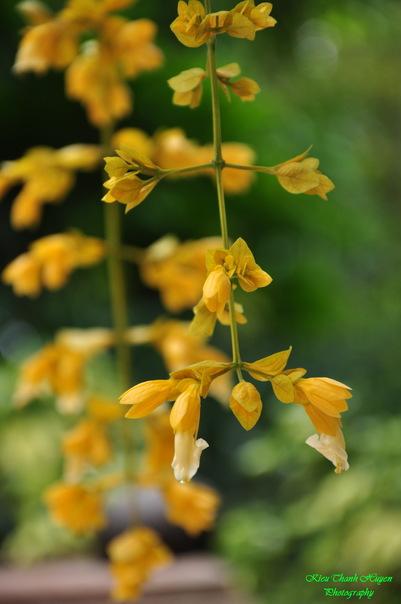 Hình ảnh Dây hoa chuỗi vàng số 26