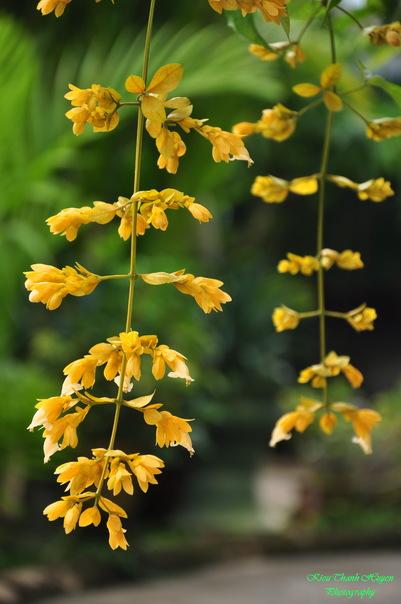 Hình ảnh Dây hoa chuỗi vàng số 27