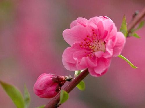 6 loại hoa Tết có công dụng trị bệnh