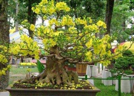 Hình ảnh Chăm sóc cây mai sau Tết số 3