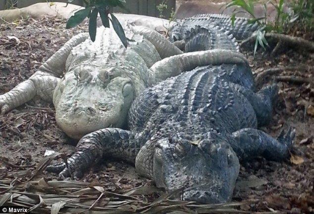 Hình ảnh Dương vật cá sấu luôn sẵn sàng lâm trận số 1