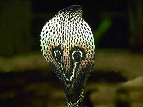 Hình ảnh 10 loài rắn độc nhất hành tinh số 3