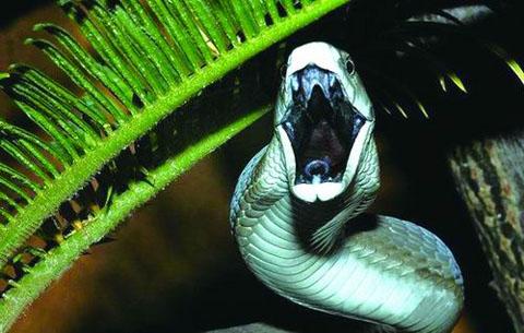 Hình ảnh 10 loài rắn độc nhất hành tinh số 12