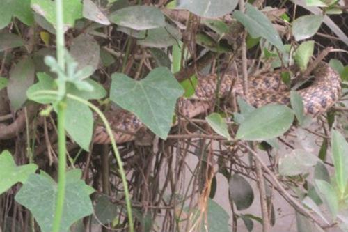 Hình ảnh Tin đồn vợ chồng thần rắn xuất hiện trên cây ở Nam Định số 1