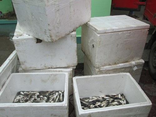 Thực hư cá trê Trung Quốc nhập lậu 'ăn thịt tất cả'